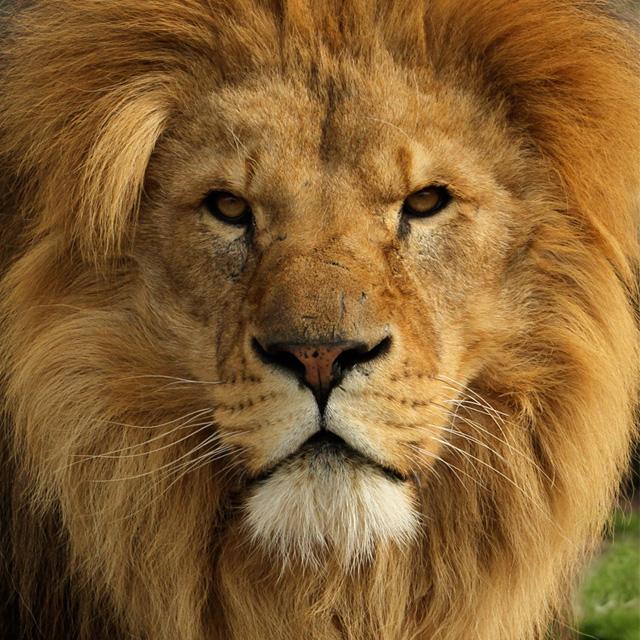 Мой лев