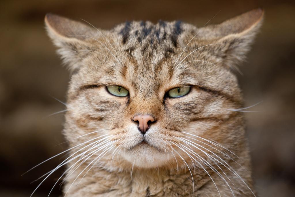 http://funcats.by/uploads/2012/07/felis-silvestris-01.jpg