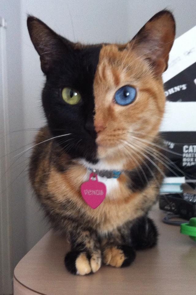 Удивительная двуликая кошка венера