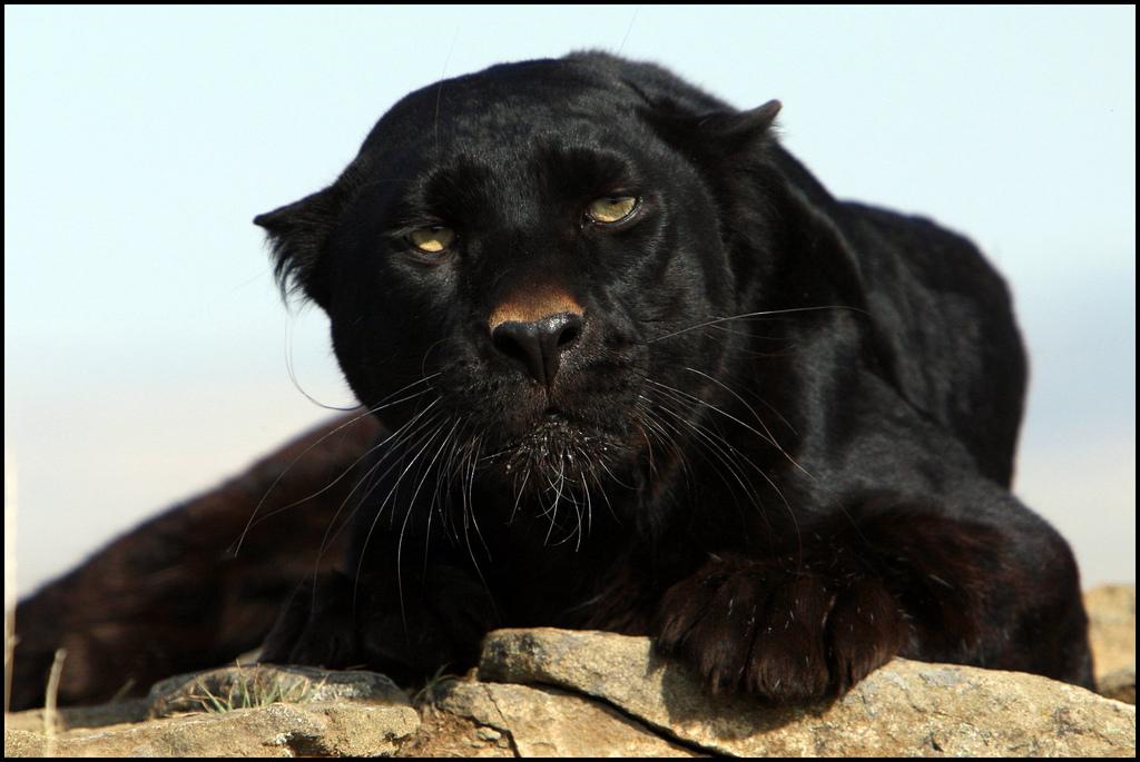 Оскал пантеры черной