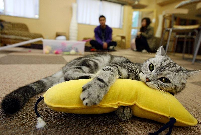 За небольшую плату можно отдохнуть в кафе, заполненном кошками: Токио, Япония